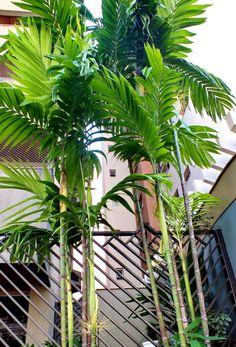 Areca triandra Tropical Pool Landscaping, Tropical Garden Design, Tropical Backyard, Garden Landscape Design, Landscaping Plants, Tropical Plants, Bali Garden, Garden Plants, Outdoor Plants
