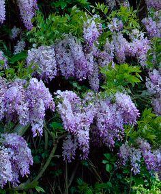 'Amethyst Falls' Wisteria Vine Plant