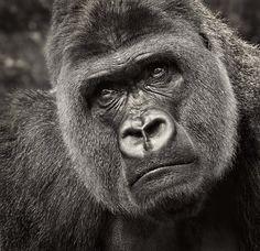 Gorilla by Dirk Seifert on 500px