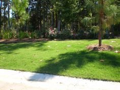 burmuda grass tifway 419