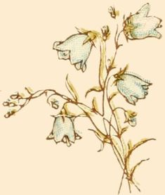 canterbury bells drawing
