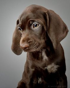 German Shorthaired Pointer Pup ~ Classic Look ~ By Matt Laur