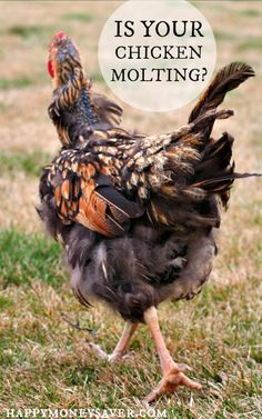 Chickens 101 - Chicken Molting. Is your chicken losing feathers? Read all about the signs of chicken molting. happymoneysaver.com