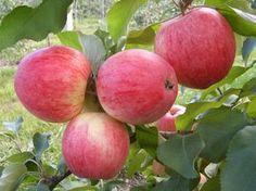 Как вырастить яблоню