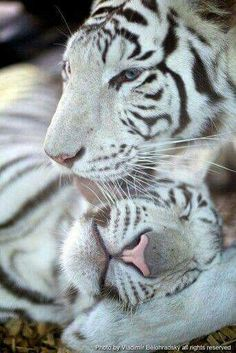♡ WHITE TIGERS