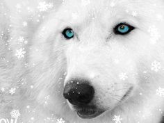 White Wolf with Blue Eyes photo by on imgfave Beautiful Wolves, Beautiful Blue Eyes, Pretty Eyes, Hello Beautiful, Beautiful Creatures, Animals Beautiful, Beautiful Images, Wolf With Blue Eyes, Wolf Eyes