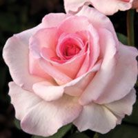 The Rose - America's favorite flower - is a popular ingredient in Texas gardens.  Calloway's Nursery Dallas garden centers and Cornelius Nursery Houston garden centers share Rose gardening insights during the free Rose clinic.  Learn how add these beauties to your garden!