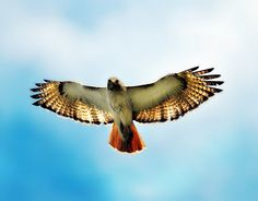 Red tailed hawk over Midewin Tallgrass Prairie, IL