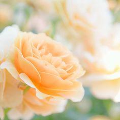 . . こんにちは❗ . 今日は暑いですなあ . 頑張りますか❗ . #explorejapan#一眼レフ #D5300 #beautiful#ニコン #instalike#横浜イングリッシュガーデン# バラ #写真好きな人と繋がりたい #ファインダー越しの私の世界 #instagood #IGersjp #team_jp #instagramjapan #flowerstagram  #flowerphotography  #flower  #japan_daytime_view #nikonphotography#flowerslovers#floweroftheday#japan_of_insta#wp_flower#team_jp_flower#wp_japan#はなまっぷ #ザ花部#rose#kanagawaphotoclub http://gelinshop.com/ipost/1523617533377995579/?code=BUk-hL6jWM7