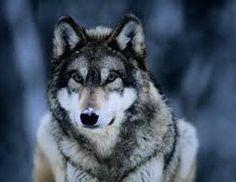 Wolf in Native American Animal Zodiac