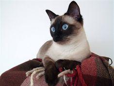 Thajské kočky prý nosí štěstí a jednoznačně si vás získají jako  přítulné a oddané společnice. Navíc je můžete naučit třeba aportovat nebo chodit na vodítku. Přesto zůstanou nezávislé, jako všechny kočky. Příjemným bonusem pro majitele je, že téměř nelínají.