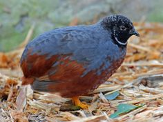 Button, Chinese Painted, Asian Blue, Blue-breasted or King Quail, or Chung-Chi - southeastern Asia to Oceania