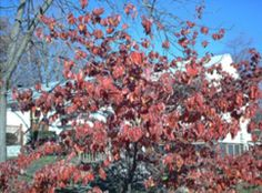 Japanese Dogwood Trees, Cornus Florida Dogwoods: Picture of a flowering dogwood tree in its fall colors. Dogwood Shrub, Dogwood Trees, Flowering Shrubs, Trees And Shrubs, Farm Landscaping, Patio Trees, Spring Blooms, Small Trees, Wild Birds