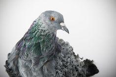 Darwin's Pigeons: Stunning Photographs Of Pigeons By Richard Bailey (16 pics) | Bored Panda