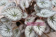Begonia  Silver Lace Home Flowers, Begonia, Christmas Wreaths, Holiday Decor, Lace, Silver, Plants, Racing, Money