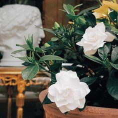 우아한 치자의 계절이에요- 저희 부티크 입구는 요즘 치자꽃 덕에 늘 향기롭지요 . . #치자 #치자꽃 #가드니아 #청담동꽃집 #꽃집 #플라워샵 #도버 #도버더플라워부티크 #플로리스트 #gardenia #flowershop #flowerboutique #dover #dovertheflowerboutique