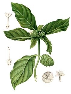 Apatot / Morinda citrifolia / Noni / INDIAN MULBERRY: Philippine Alternative Medicine / Medicinal Herbs / StuartXchange