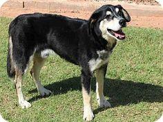 Edmond, OK - Siberian Husky/German Shepherd Dog Mix. Meet DAKOTA, a dog for adoption. http://www.adoptapet.com/pet/11603746-edmond-oklahoma-siberian-husky-mix