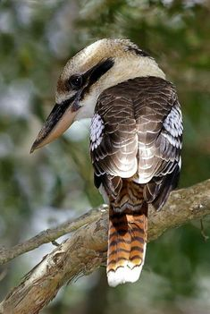 emuwren: The Laughing Kookaburra - Dacelo novaeguineae, is a carnivorous bird in the kingfisher family Halcyonidae, Native to eastern Australia, it has also been introduced into parts of New Zealand, Tasmania and Western Australia. Photo by Dean Lewis. Kinds Of Birds, All Birds, Birds Of Prey, Love Birds, Pretty Birds, Beautiful Birds, Animals Beautiful, Cute Animals, Exotic Birds