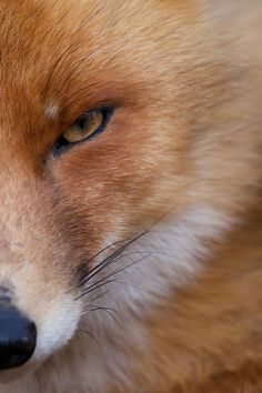 Red Fox by Jeroen de Wit on 500px