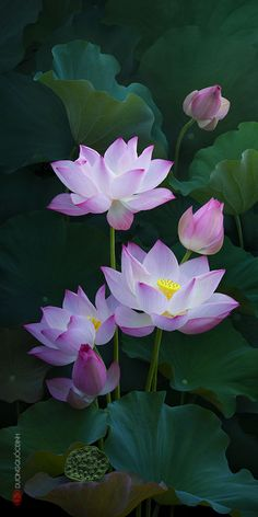 New tattoo lotus pink water lilies Ideas Flowers Nature, Exotic Flowers, Amazing Flowers, My Flower, Beautiful Flowers, Lotus Flower Art, Water Flowers, Tropical Flowers, Colorful Flowers