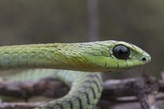 The most venomous snake in Africa, the Boomslang