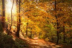 Free Image on Pixabay - Forest, Light Beam, Sun, Sunbeam Forest Light, Oak Forest, Fall Family Pictures, Fall Photos, Sauce Arbol, Photo Café, Stations De Ski, Old Trees, Light Beam