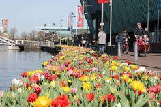 Per il secondo anno la città di Amsterdam ha il suo Festival dei tulipani. Durante il mese di aprile, o fino a quando i tulipani sono in fiore, si può seguire un percorso a piedi o in bicicletta lu…