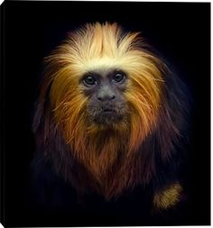 Golden headed Lion Tamarin isolated on a black background Funny Animal Faces, Funny Animals, Primates, Black Backgrounds, Lion, Black And White, Contrast, Animation, Log Projects