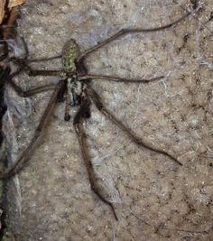 Species: Tegenaria sp.  Credit: Tamzin Smith  Identify your house spiders with our FREE app! https://www.societyofbiology.org/get-involved/hands-on-biology/spider-app