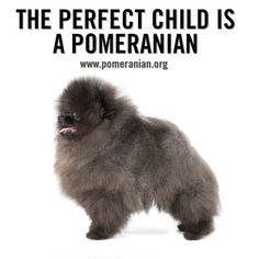 All About Pomeranians. Pomeranian Memes, Micro Pomeranian, Black Pomeranian, Cute Pomeranian, Cute Puppies, Dogs And Puppies, Siberian Husky Puppies, Siberian Huskies, Dog Memes