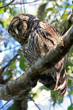 Barred Owl - Sleeping, Everglades National Park, Florida (pinned by haw-creek.com)