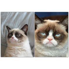 Grumpy cat - the most unhappy cat Internet