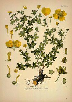 31353 Potentilla tormentilla Schrank / Köhler, F.E., Medizinal Pflanzen, vol. 1: t. 83 (1887) [W. Müller]