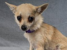 9/17/16 -Petango.com – Meet Rosalind, a 1 year 5 months Chihuahua, Short Coat / Pomeranian available for adoption in COLORADO SPRINGS, CO