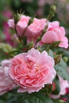 'Strawberry Hill'   Shrub. English Rose Collection. Bred by David C. H. Austin (United Kingdom, 2001)   © robertmealing