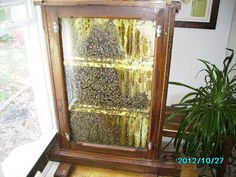 MY OBSERVATION HIVE - Missouri Bees Bee Supplies, Kitchen Plants, Come And Go, Bee Keeping, All About Time, Missouri, Bees
