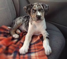 Is this the ideal hog hunting dog ... Pit Bull crossed with a Catahoula Leopard Dog.