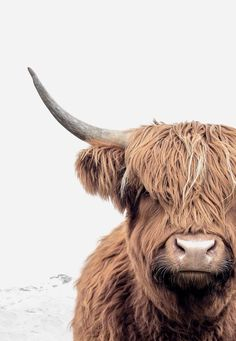 Magnificent Highland Cow Print by Little Ink Empire available in a range of sizes. Highland Cow Art, Scottish Highland Cow, Highland Cattle, Highland Cow Painting, Farm Animals, Cute Animals, Cow Wall Art, Fluffy Cows, Cow Decor