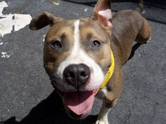 TO BE DESTROYED - 8/22/14 Manhattan Center -P  My name is MAKO. My Animal ID # is A1010469. I am a male tan and white pit bull mix. The shelter thinks I am about 1 YEAR 6 MONTHS old.  I came in the shelter as a STRAY on 08/13/2014 from NY 10460, owner surrender reason stated was STRAY.