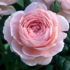 Queen of Sweden - David Austin; soft glowing pink with hint of apricot, double full bloom, hardy, light myrrh  fragrance, excellent repeat, upright and bushy  4ft x 2.5ft
