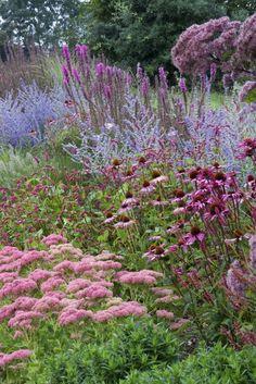 Bordure de vivaces. Perovskia 'Blue Spire', Echinacea purpurea 'Rubinstern' syn…