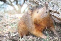 SolenodonContrary to his appearance, the solenodon is not a rat or a shrew who's had his nose pinche... - Photo: Courtesy of The Dodo.