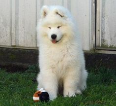 The Daily Puppy Skeeter the Samoyed