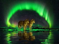 "Wolves ~ ""Surrounded By Aurora Borealis. Beautiful Wolves, Beautiful Sky, Beautiful Landscapes, Aurora Borealis, Wolf Spirit Animal, Wolf Wallpaper, Wolf Love, Wolf Pictures, Tier Fotos"