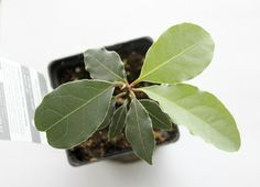 Spotlight on Herbs: Bay Leaf | The humble bay leaf -- cultivated since the beginning of recorded history, used as a symbol of honor in Ancie...