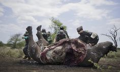 Poachers killing animals at record rate, sparking fear of demise of entire population within 20 years
