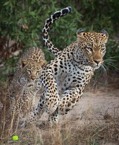 "Alistair Smith Photography •• ""The Tamboti female of Londolozi Game Reserve, is chased by her cub as part of a playful game between the two of them. Always a privilege to witness something as special as this!"" #Africa #Leopard #Wildlife"