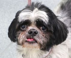 SUPER URGENT- *SENIOR* KIWI  – A1106412    MALE, WHITE / BLACK, SHIH TZU MIX, 9 yrs  STRAY – ONHOLDHERE, HOLD FOR DOH-B Reason BITEPEOPLE