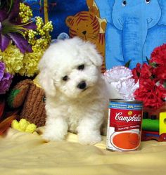 Fun fact: Bichon Frise is french for curly white lap dog... Looks very similar to a maltese but larger and in my opinion more active...    http://dogculture.net/puppies-for-sale/litter-trained-bichon-frise-puppies-cankc-reg-pb-616.htm